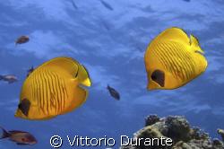 Chaetodon Semilarvatus by Vittorio Durante