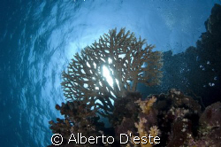 Hard Coral in Sha'ab Rumi - Nikon D70S - 16mm - DS160 by Alberto D'este