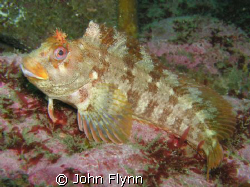 this Tompot blenny was taken just of Doolin point, Doolin... by John Flynn