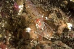 Northern Prawn - Farne Islands by Alan Fryer