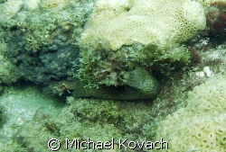 Eel under a ledge on the Inside Reef at Lauderdale by the... by Michael Kovach
