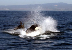 Monterey Bay Orca Hunt - towards the end of the lesson, t... by Dan Lee