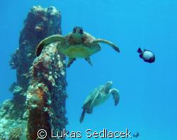 hawaiian  turtles by Lukas Sedlacek