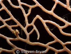 This is a pygmy sea horse on fan coral.  This species was... by Steven Bryan