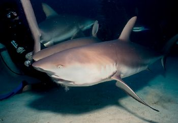 Who's hand was that?  Shark feed at Stuart Cove, Bahamas,... by Beverly Speed