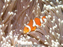 I snapped this clownfish just as he was yawning.  Taken a... by Tammy Gibbs
