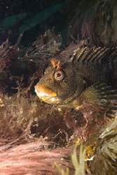 Tompot Blenny, Trefor North Wales.  Nikon D80 Ikelite hou... by Alan Fryer