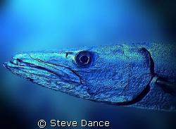 Metallic Barracuda. Edited in photoshop. Blurring the bac... by Steve Dance
