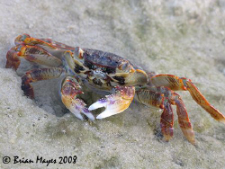 Shore Crab....¸><((((º>....Canon G9 by Brian Mayes