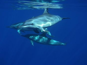 These are wild long-beaked spiiner dolphins. The shot was... by Don Bruschera