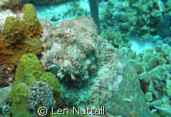 Hey!  What are you looking at.  Scorpion fish, I believe... by Len Nuttall
