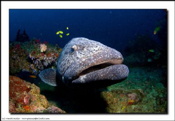 Boris, our resident grouper at this site, is always a cro... by Vandit Kalia