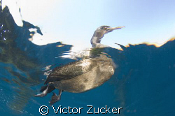 california cormorant by Victor Zucker