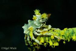 Zeno Crab on Whip Coral, Nikon D200, 105mm Macro by Nigel Wade