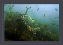 A large pike, maybe around 1,3 to 1,5m. by Sven Tramaux