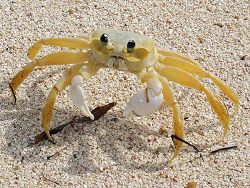 Little Ghost Crab on Little Cayman Island, BWI. by Jim Chambers