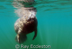 Manatee Taken at Crystal River FL. Camera Nikon D-200 by Ray Eccleston