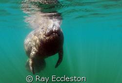 Manatee Taken at Crystal River FL. Camera Nikon D-200 by Ray Eccleston