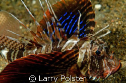 Gunard Lionfish, D300, 105VR by Larry Polster