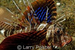 Gunard Lionfish, D300, 105VR by Larry Polster