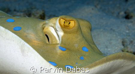 stingray showing off her curves by Parvin Dabas