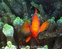 Nemo's Mummy protecting her Turf by Adrian Schokman
