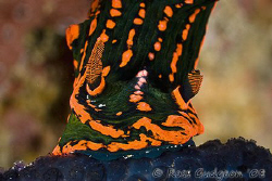 Schluuuurp!  Nembrotha kubaryana sucking up some ascidian... by Ross Gudgeon