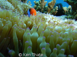 Pic shot of Clown Fish peeking out..  macro pic shot with... by Ken Thate