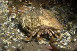 Hermit Crab, Farne Islands by Alan Fryer