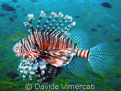 Lion fish in Nosy Be, Madagascar.