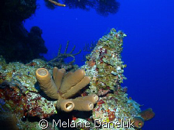 Amazing sponges at about 100 ft by Melanie Daneluk