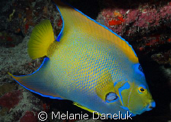 Presenting...the Queen of Angelfish. by Melanie Daneluk