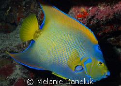 Presenting...the Queen of Angelfish. by Melanie Daneluk