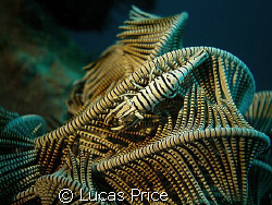 Crinoid Shrimp by Lucas Price