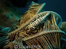 Crinoid Shrimp by Lucas Price