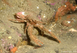 Squat Lobster, Farne Islands by Alan Fryer