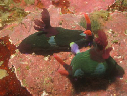Mating nudis at Verde Island, Puerto Galera, Philippines by Dennis Siau