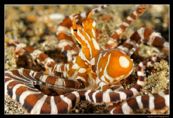 Wonderpus in Lembeh Strait, 