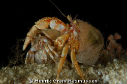 Dont Leave me - a pair of affectionate Hermit Crabs - sho... by Henrik Gram Rasmussen