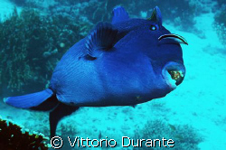 A very aggressive Pseudobalistes Fuscus shows me its teeth. by Vittorio Durante