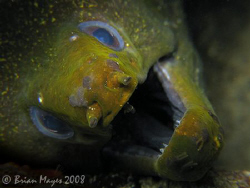 This scary Undulated Moray (Gymnothorax undulatus) remind... by Brian Mayes