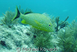 Fish on the Inside Reef at Lauderdale by the Sea by Michael Kovach