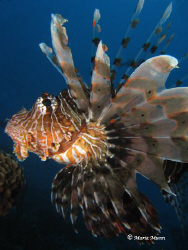 Yet another lionfish!  Was counting the lionfish on this ... by Maria Munn