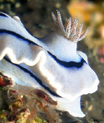 Nudibranch w/crab- Sabang P.I. by Martin Dalsaso