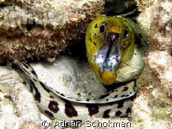 My 1st Time seeing a Green Headed with White Body Eel. Ta... by Adrian Schokman