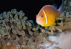 Clown of the coast of Qamea, Fiji by Michael Shope