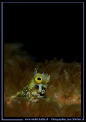 "A small Blennie having a ""peek out-side"" ... :O) .... by Michel Lonfat"