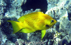 I believe this to be the yellow form of a female Slingjaw... by Steve Dance