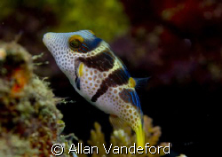 Colorful Toby found at Asphalt Pier in Buton, South Sulaw... by Allan Vandeford