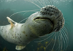 Wiskers. Grey seal pup getting close. Farne Islands. 1... by Mark Thomas